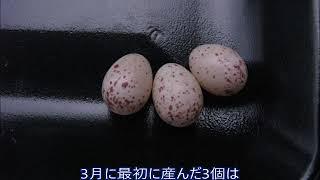 シジュウカラの巣箱283 2018 0507産卵42日 巣立ち6 巣箱の残卵の点検 thumbnail