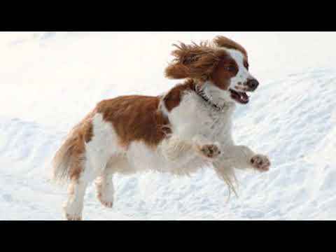 Welsh Springer Spaniel - medium size dog breed