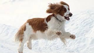 Welsh Springer Spaniel  medium size dog breed