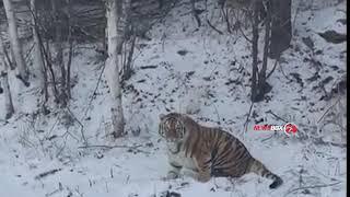 Тигры все чаще стали попадаться на глаза людям.