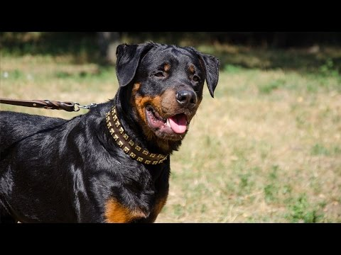 Strong & Stylish Caterpillar design dog collar for Rottweiler