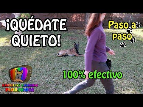 ENSEÑAR A Un PERRO El QUIETO (Nivel Básico)   Adiestramiento Canino En Obediencia