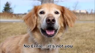 Ernie, Golden Retriever Rescue Resource, Grrr Inc.