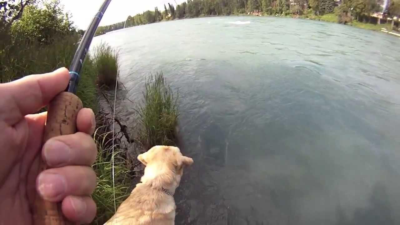 37 minute limit kenai river sockeye salmon july 16 for Kenai river fish counts