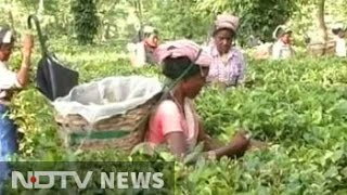Assam tea workers await tribal status as Congress, BJP fight for their vote
