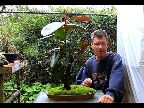 Rubber Tree Bonsai, Aug 2014 - YouTube