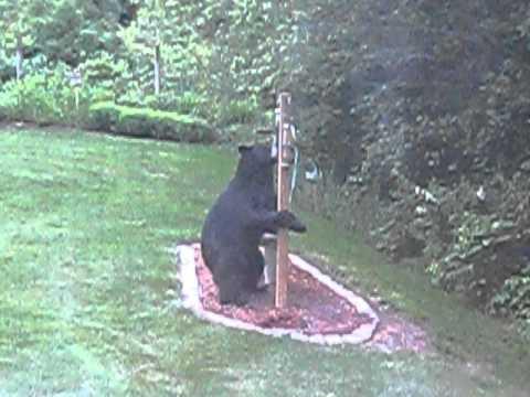 Bear at Bird Feeder Belchertown, MA - YouTube