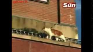 Кошки акробаты, прикольное видео