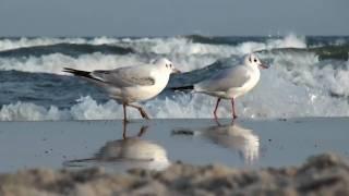 Ptaki nad Morzem Sopot  - Sea Birds Poland
