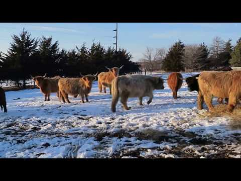 Cattle enjoying fresh bale