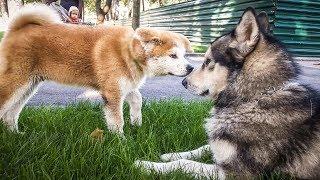 Милое знакомство собак, щенок акита и хаски