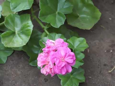 Плющелистная пеларгония сорт Pink Sybil