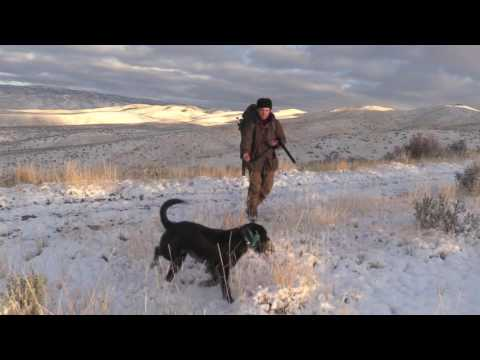 German Wirehair/ Pointing Lab Legion Second Day hunting