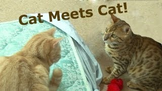 Bengal Kitten Introduction to adult cats - Part2