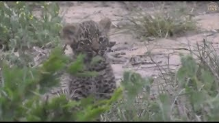 Safari Live : Thandi Female Leopard and her young cub on drive with Scott Dec 20, 2017