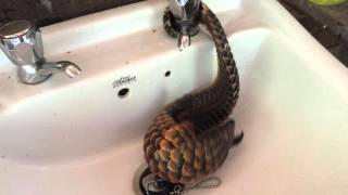 black bellied pangolin playing w water