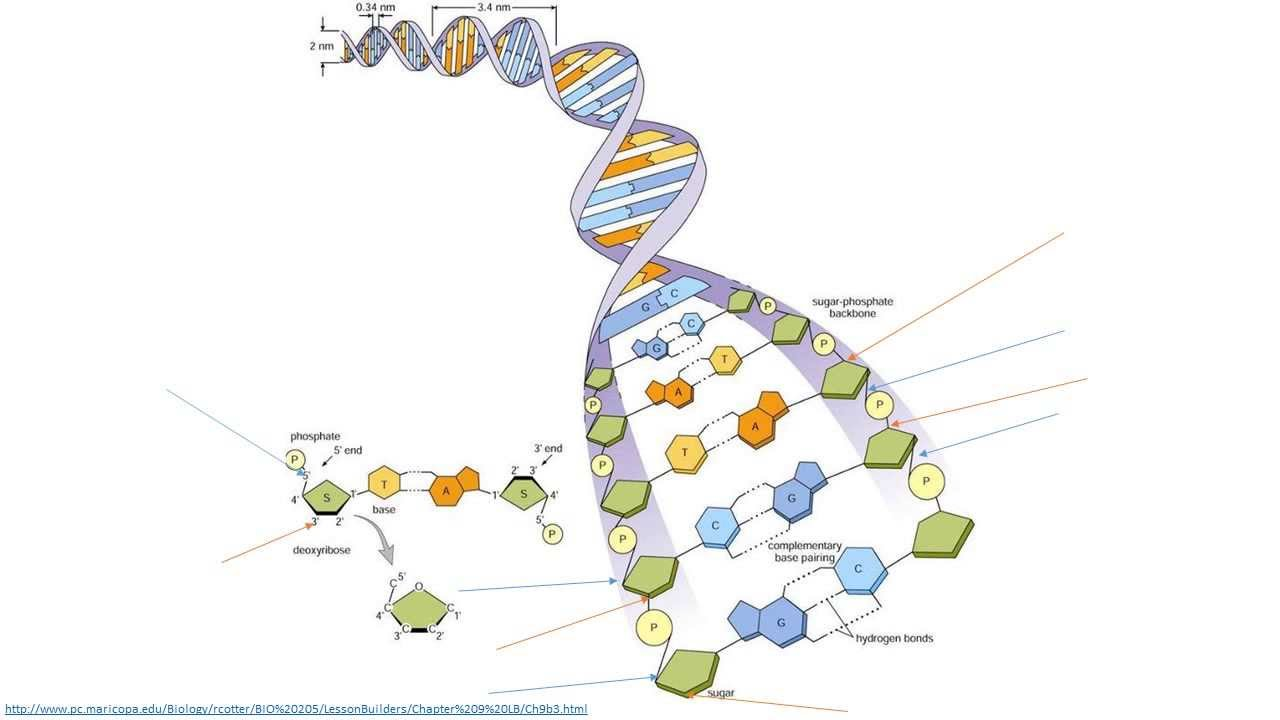 how to draw dna structure