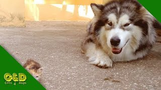 Funny CATS AND DOGS Videos June 2019 Compilation 🐈 Too Cute Cat and Dog Funny Pet Animal Vines 2019