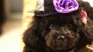 帽子とサングラス大好きな トイプードル 黒1歳 クッキー! Black toy poodle Cookie 1 year 5months old