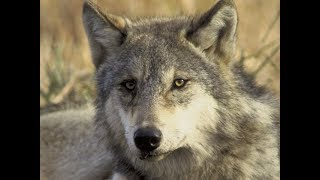 Gray Wolf To Be Delisted From Endangered Species List