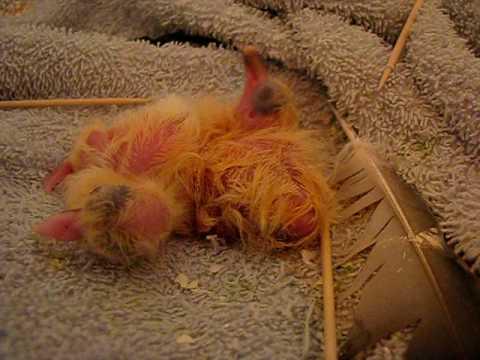 two baby pigeons just hatched / doi pui de porumbel nou ...