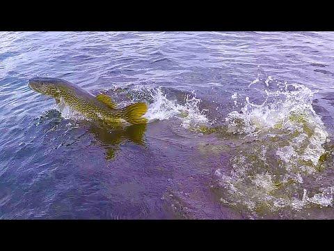 ЩУКА ДАЛА ЖАРУ! Рыбалка на болотах в сибири 2019.  Ловля щуки на джеркбейт.  2 серия