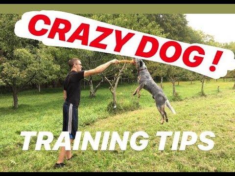 5-training-tips-|-australian-cattle-dog-(blue-heeler)