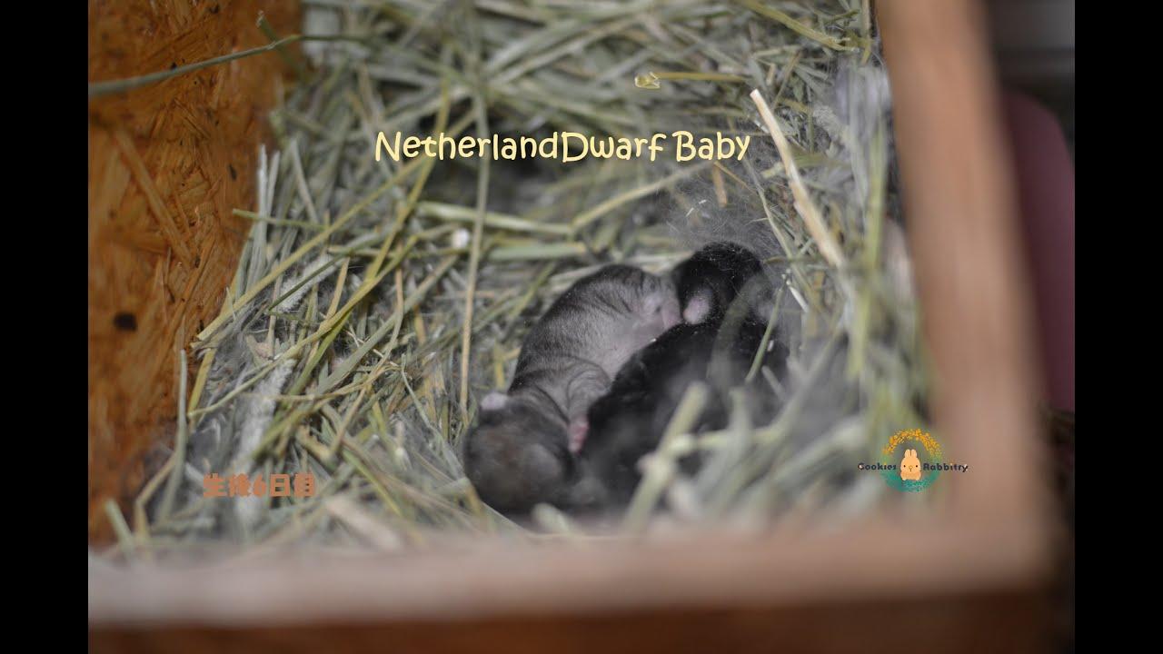 ネザーランドドワーフの赤ちゃん ブラックオター&チェスナットの兄弟 生後6日目 咳は出てますが元気です♪