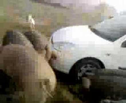 El ataque de los cochinos ibericos a bull terrier