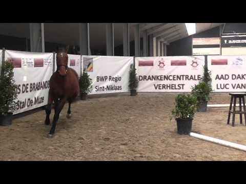 Noran Van 't Merelsnest (Nabab de Rêve x Mr. Blue, Colt 2013)