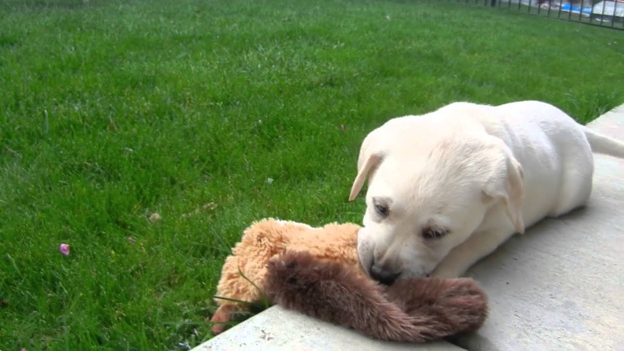 Labrador puppy's first day home! - YouTube