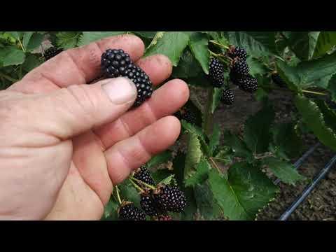 Гигантская ягода молодого куста ежевики Прайм Арк Фридом. 10кг с куста и 500кг с 50 метрового ряда