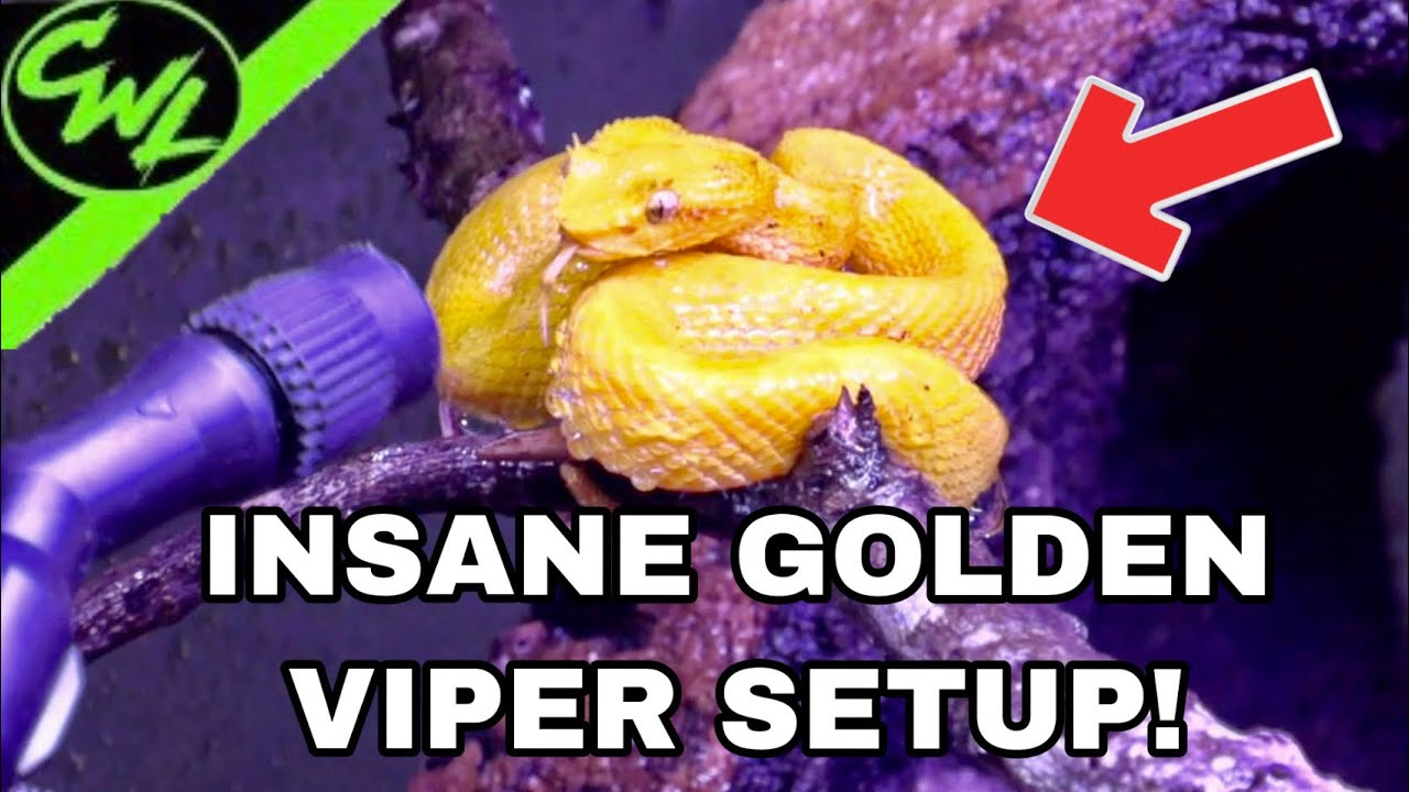 INSANE GOLDEN VIPER SETUP!!!