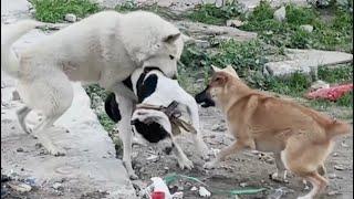 2 DOGS GANG ATTACK INTRUDER! SIBERIAN HUSKY & KANGAL VS PITBULL! TERRITORY WAR! DOGFIGHT !⚠️