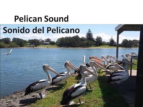 Pelican Sound, Fishing - Sonido de los Pelicanos Pescando