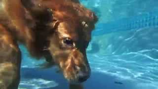 Golden Retriever Braxton Dives Underwater In Swimming Pool For Dog Toy Tennis Ball