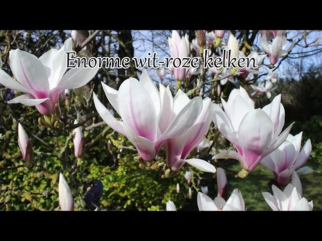 1 minuut natuur: magnolia soulangeana