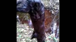 Охота на норку с охотничьей собакой лайкой