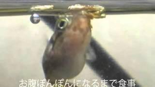 アベニーパファーのキョロちゃん追悼ムービー。こんなに好きになる魚は後にも先にもキョロちゃんだけだと思う.