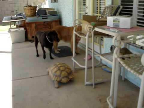Tortoise Attacks Two Dogs