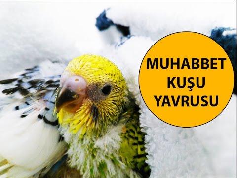 Muhabbet Kuşu Yavruları