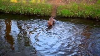 The Fishing Weimaraner, Hilden April 2015