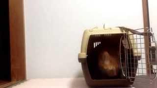 ちいちゃんクレートトレーニング(cat Crate Training)