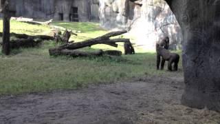 Gorilla Propels Cute Kitten Through Air