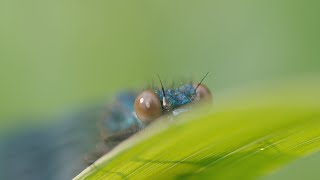 Banded Demoiselle - The River Race
