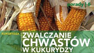Jaką technologię wybrać do zwalczania chwastów w kukurydzy?