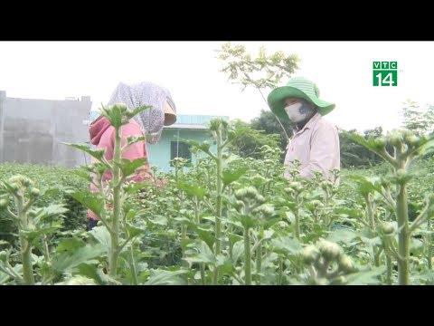 VTC14 | Thời tiết bất lợi cho người dân trồng hoa Tết tại Quảng Ngãi