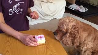大福くん4歳の誕生日! 犬用ケーキでお祝いしました!