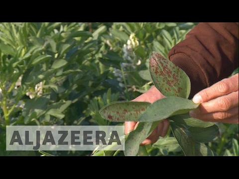 Crops sprayed by Israel destroy Gaza's farmlands