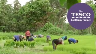 Journey to the paddy fields of Thailand to learn how rice gets from farm to fork